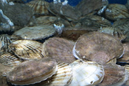 šukutės,clam,jūros gėrybės