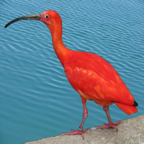 raudona, ibis, raudona, paukštis, retas, didelis, gamta, gyvūnas, gyvūnai, zoologijos sodas, viešasis & nbsp, domenas, raudona ibis
