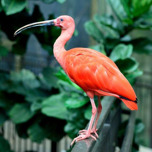 ibis, raudona, raudona, laukinė gamta, portretas, gamta, žiūri, sustingęs, viešasis & nbsp, domenas, fonas, tapetai, plunksnos, lauke, raudona & nbsp, ibis, vandens paukštis, raudona ibis