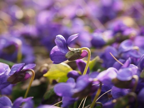 kvapieji violetiniai,violetinė,gėlė,žiedas,žydėti,viola odorata,kovo vijokliai,kvepiančios violetinės,violetinė gamykla,violaceae,violetinė,pavasaris,pavasario pranašys,kvapas,altas,žolinis augalas,rozetės gamykla,miškas,gamta,violos,kvepalai,aromatingas