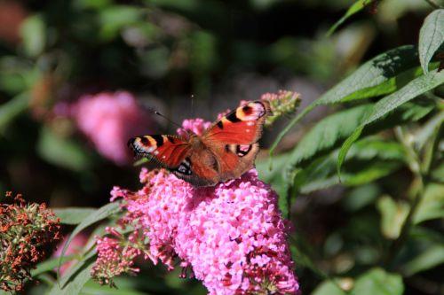 drugelis, drugelis & nbsp, medis, buddleja, sodas, gyvūnas, vabzdys, gamta, gėlė, augalas, violetinė, drugelis