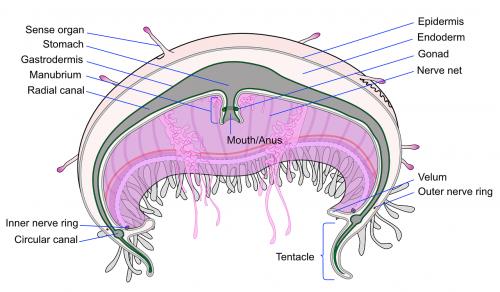 mokslas,diagrama,kirsti,piešimas,žuvis,kūnas,skyrius,dalys,sistema,biologija,želė,paženklinta etikete,paženklinta etikete,medūza,dalis,nemokama vektorinė grafika