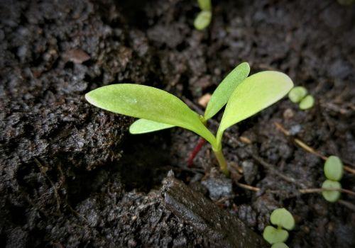 skonis,sodinukai,gemalo lapai,augalas,žemė,variklis,jaunas,gyventi nauji,gyventi,gamta