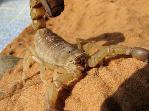 skorpionas,nėščios moterys,toksiška nuodai,dažnai mirtina,geltona skorpionas,androctonus australis,nėščios moterys,buthidae šeima,androktono klasifikacija,skorpionai,skorpionas mokslinis pavadinimas,nariuotakojų,voragyviai,arachnid