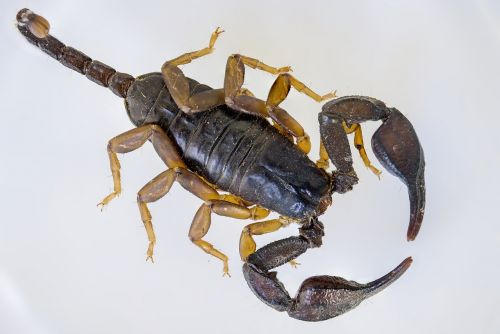 skorpionas,juodas skorpionas,e flavicaudis,nariuotakojų,arachnid,europietis,juoda skorpionas geltonuodepis,makro