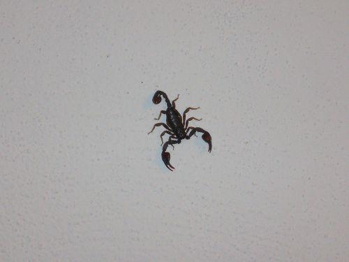 skorpionas,bestuburiai,chele