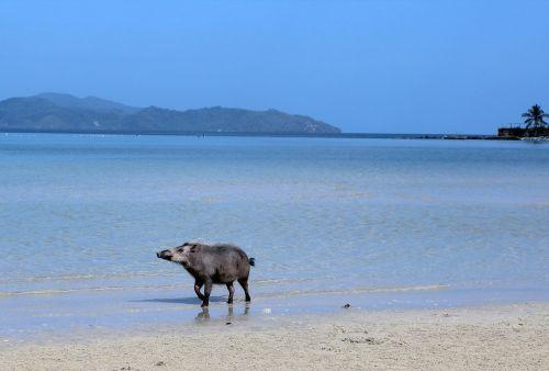 jūra,papludimys,naminė kiaulė,kiaulė,mėlynas,paplūdimio jūra,prie jūros,vasara,gražūs paplūdimiai,kranto,tuščias paplūdimys saulė,vanduo,ežeras,naminis gyvūnėlis,laukinės gamtos fotografija,gamta,rojus,gyvūnas,smėlio paplūdimys laimingas