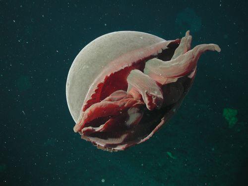 jūra,vandenynas,vanduo,medūza,gyvenimas,Jūros gyvenimas,gražus,makro,povandeninis,Iš arti