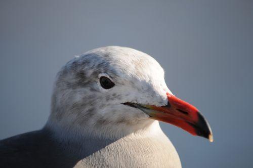 jūra & nbsp, gull, kepuraitė, Iš arti, paukštis, plunksnos, snapas, jūra, vandenynas, papludimys, jūra keteros veidas