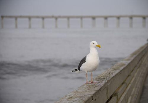 jūra & nbsp, gull, paukštis, vandenynas, plunksnos, jūra, papludimys, prieplauka, žvejyba, stovintis, jūra kyla ant prieplaukos