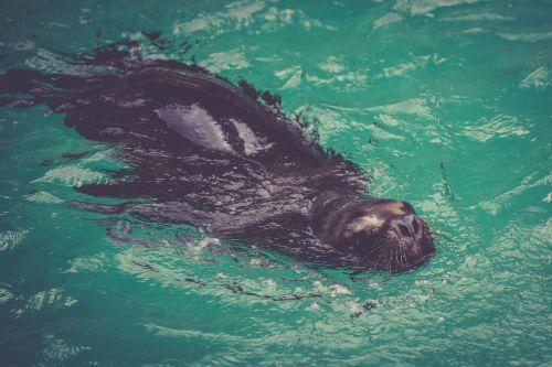 gyvūnas, padaras, jūrų, vandenynas, pinniped, jūra & nbsp, liūtas, antspaudas, jūrų liūtas, maudytis, vanduo, jūrų liūtas