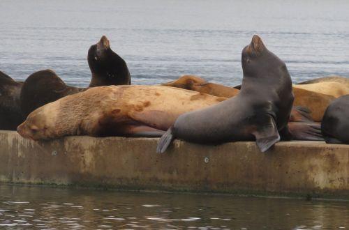 jūrų liūtas,jūrų augalija ir gyvūnija,vandenynas,gyvūnas,jūrų žinduolis,pabusti,Labas rytas