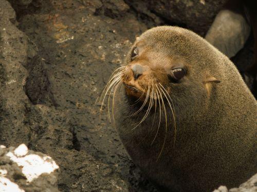 jūrų liūtas,antspaudas,gyvūnas,kūdikis,kūdikio jūrų liūtas,įlanka,papludimys,ecuador,endeminis,galapagų salos,žinduolis,jūrų,jūrų liūtas,ūsas,laukiniai,laukinė gamta