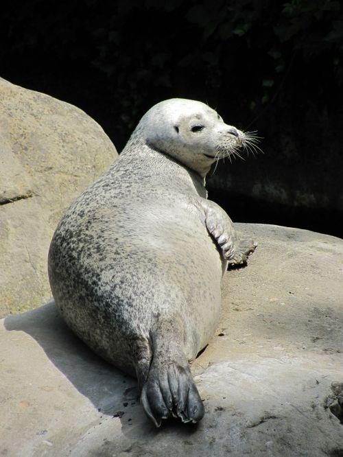 jūrų liūtas,robbe,žinduolis,saulė,gyvūnas,rūpestis,atsipalaiduoti,jūrų augalija ir gyvūnija,padaras
