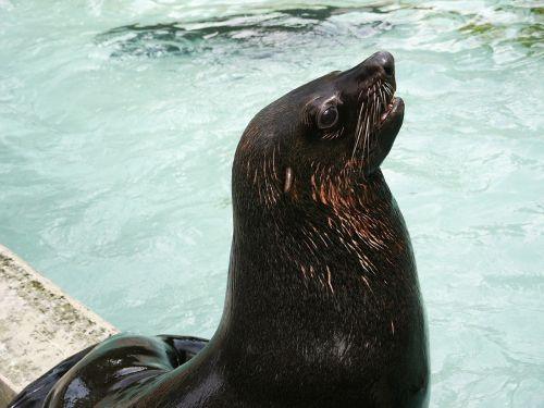 jūrų liūtas,zoologijos sodas,gyvūnas,meeresbewohner,gyvūnų pasaulis,vanduo,žinduolis,padaras,vandens tvarinys,galva,plaukti,šlapias,zoologijos sodas gyvūnas,purslų