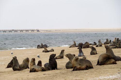 juros liutai,ruoniai,kolonija,jūra,walvis,įlanka,Namibija,swakopmund,gyvūnai,papludimys,marin,migla,vandenynas,didelis,planą,kaukolės