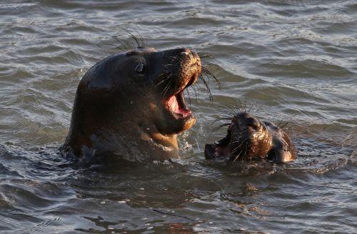 jūra & nbsp, liūtai, šuniukas, motina, vandenynas, portretas, jūra, vanduo, laukinė gamta, gamta, viešasis & nbsp, domenas, tapetai, fonas, blm, blancas & nbsp, šviesos & nbsp, stotelė & nbsp, natūrali & nbsp, plotas, žinduolis, mielas, juros liutai