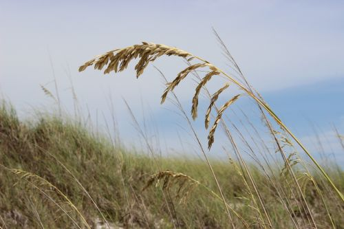 jūrų avižos,papludimys,žolė,jūra,smėlis,vandenynas,avižos,florida,kranto,pajūris,jūros dugnas
