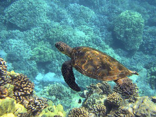 jūrų vėžlys,hawajų jūrų vėžliai,žalia jūrų vėžliai,milžinišką jūrų vėžlį,Hawaii,vėžlys,atogrąžų,povandeninis,havajų kalba