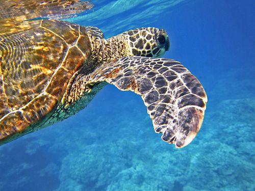 jūrų vėžlys,žalia jūrų vėžliai,milžinišką jūrų vėžlį,vėžlys,povandeninis,Hawaii,atogrąžų,jūrų
