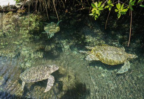 jūrų vėžliai,jūrų augalija ir gyvūnija,vanduo,atogrąžų,povandeninis,ropliai,vandens,natūralus
