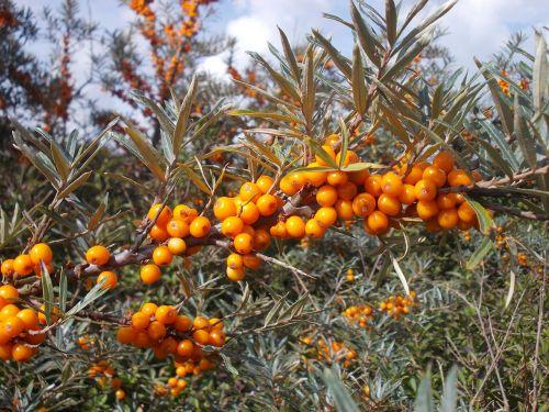 Šaltalankis, Laukiniai Vaisiai, Laukinės Uogos, Uogos, Apelsinų Uogos, Vitaminai