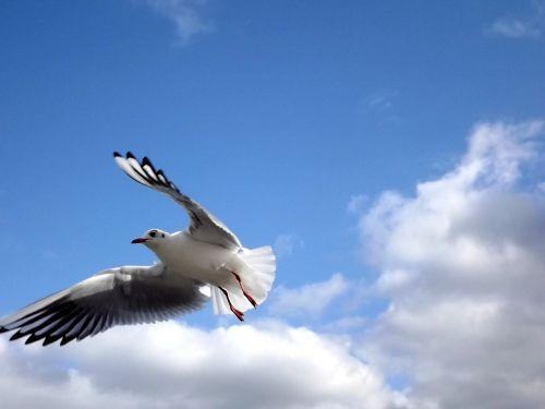 Kajakas, Skristi, Paukščiai, Dangus, Pakilimas