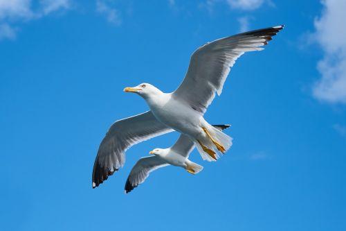 kajakas,paukštis,gražus,kaukolės,diena,paukščiai,gamta,debesys,taika,kraštovaizdis,dangus,gyvūnas,mėlynas,fonas,skristi,laisvė,kartu,dvigubas,aplinkosauga,myli gamtą