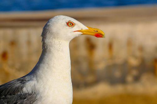 kajakas,gyvūnas,paukštis,portretas,seevogel,Uždaryti,gamta,jūra