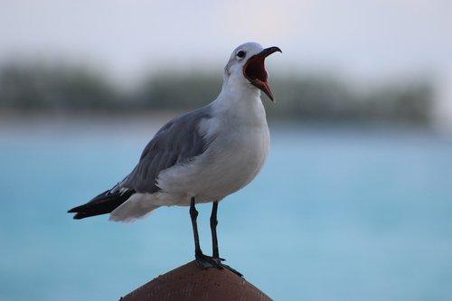 Žuvėdra, jūros paukščių, Gyvūnijos, gyvūnas, kiras, baltos spalvos, plunksna, laisvė, sparnas, snapas, šaukti, atviras snapas