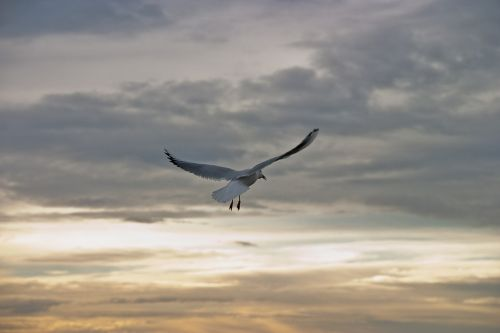 kajakas,paukštis,skristi,laisvė,dangus,gyvūnai,harmonija,debesuotumas,padengtas,kepuraitė,sparnas