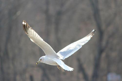paukščiai, žuvėdros, atsargų & nbsp, nuotraukos, baltieji & nbsp, paukščiai, laukiniai & nbsp, paukščiai, jūra & nbsp, paukštis, skrydis, sparnai, skraidantis, nemokama & nbsp, akcija, kaukolės nusileidimas