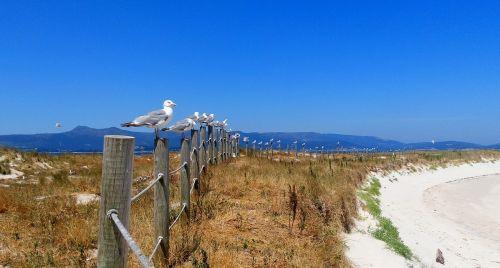žuvėdros,papludimys,smulkus smėlis,arousa,areoso,islet,vasara,paplūdimio smelis,vandens paukščiai,jūros paukščiai,jūra,smėlis,Galicia