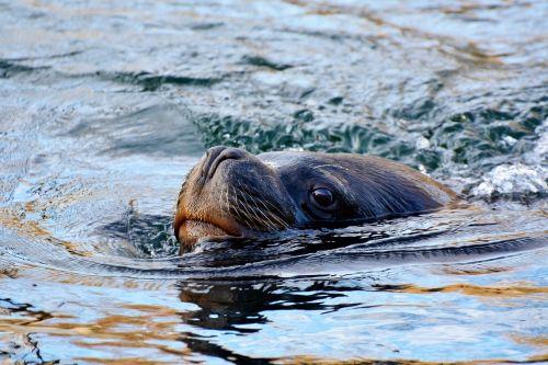 antspaudas,jūrų liūtas,robbe,žinduolis,jūra,meeresbewohner,jūrų žinduoliai,vandens tvarinys,gyvūnas,jūrų augalija ir gyvūnija,seerobbe,zoologijos sodas,vanduo,plaukti