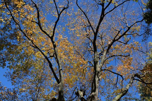 sezonas,ruduo,filialai,medžiai,Spalio mėn,gamta,lapija,Debesuota,lapai,lauke,rudens,mediena,lapai