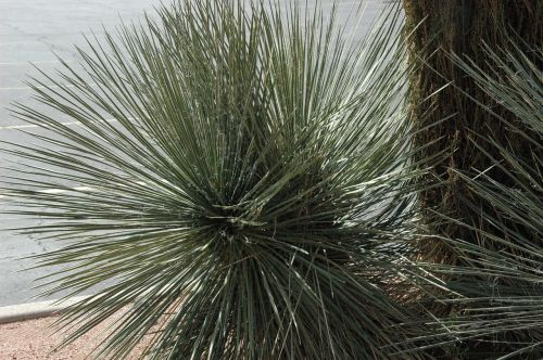 sedona,Arizona,Vakarų,pietvakarius,šalavijas,žolės,Zera scape,pampų žolė,dekoratyvinė žolė,aukšta žolė,gamta,pieva,žolės mentė,augalas,žolė