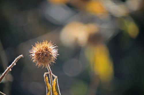 sėklos, rutulys, klasteris, sausas, ruda, žiema, gamta, sėklų klasteris ant stiebo