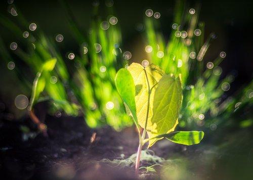 sodinukų, gyvenimas, pavasaris, augalų, augti, pabusti, klonuoti, medis, augimas, žalias, šviesos, Bokeh, pobūdį, natūralus, lapų, aplinka, perlas, gražus