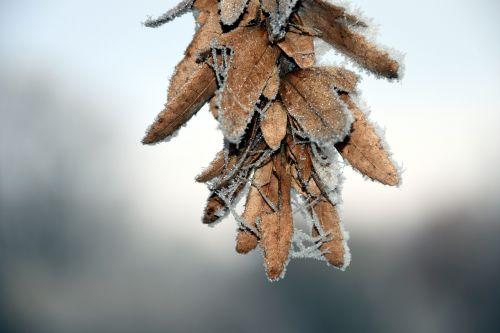 sėklos,šaltas,šaltis,eiskristalio,žiema,sniegas,Uždaryti,gražus,žemėlapis,atvirukas,tylus,ledas,gruodžio mėn .,medžių sėklos,sėklos žiemą,skraidančios sėklos,sėklos su sniegu