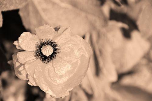 gėlė, gamta, pavasaris, dekoracijos, sepija, sepija
