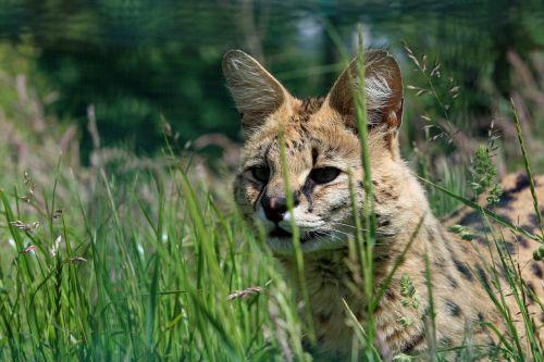 serval,gyvūnas,katė,laukiniai,laukinė gamta,Iš arti,galva,veidas,gražus,akys,žiūrėti,ilgai,žolė,žalias