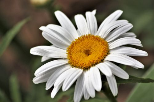 gamta, augalai, gėlės, rozės, Daisy, Shasta & nbsp, Daisy, balta & nbsp, gėlė, balta & nbsp, daisy, geltona & nbsp, centras, Iš arti, makro, žalumynai & nbsp, fonas, pavasaris & nbsp, gėlė, Shasta Daisy arti