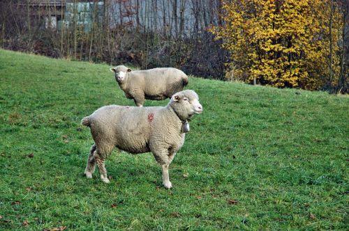 avys,ganykla,gyvuliai,ganyti