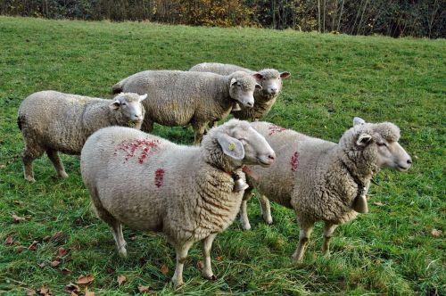 avys,avių pulkas,ganykla