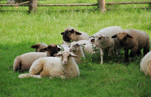 avys,ėriukai,avių pulkas,gyvūnai vaikams,pavasaris,pieva,schäfchen,gamta,vilnos,gyvūnų pasaulis,jaunas,jauni gyvūnai,gyvūnai,ėriena,poilsis,kailiniai gyvūnai,kailis,seefeld,fauna,žinduoliai,taikus,skirtingos avys