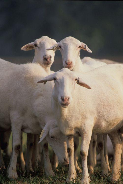 avys, ganymas, Žemdirbystė, gyvūnas, uždaryti & nbsp, bandas, vilnos, viešasis & nbsp, domenas, usda, tapetai, fonas, gyvuliai, ūkis, ranča, žiūri, balta, avys