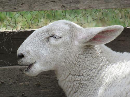 avys,ovis aries,gyvūnas,gyvuliai,balta,vidaus,ūkis