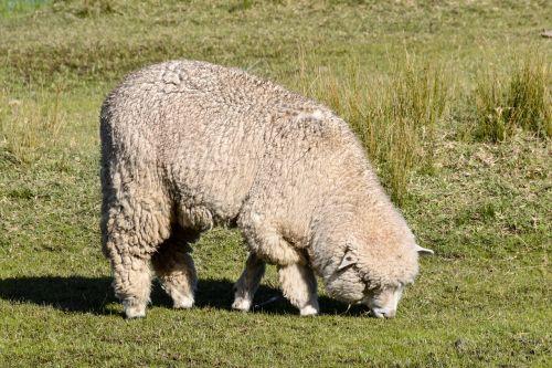 avys,valgymas,gyvūnas