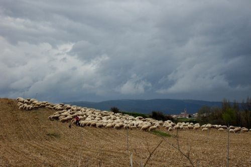 avys,avių pulkas,Ispanija