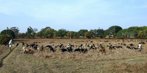 avys,ganymas,ganyklos,Indija,ūkis,žinduolis,vidaus,lauke,ūkio gyvūnai,kaimas,gyvuliai,ranča,Naminiai gyvūnai,žemės ūkio paskirties žemė
